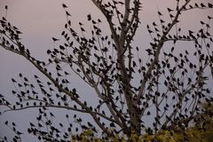 Blackbirds in tree Royalty Free Stock Images