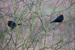 Blackbirds Stock Photos