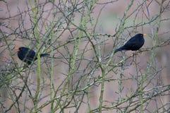 Blackbirds Stock Photos