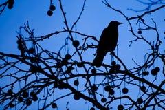 blackbirdsilhouette Royaltyfri Fotografi
