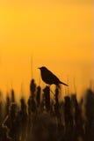 blackbirdsilhouette Arkivbild
