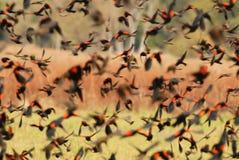 blackbirdsredwing Arkivbilder