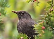 blackbirdstående Arkivfoton