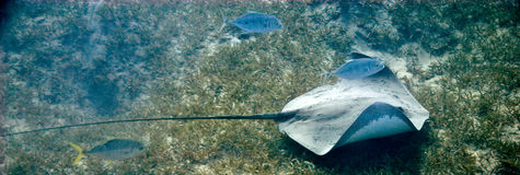 Blackblotched stingray (taeniura meyeni). Taken at Na'ama bay, sharm el sheikh Stock Images