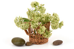 Blackboard drzewo, Czarci drzewo, Alstonia scholaris (Linn ) R BR , liście i kwiaty Obraz Royalty Free