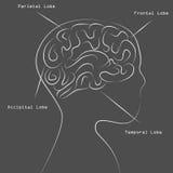 Blackboard Human Brain Map Drawing Stock Photography