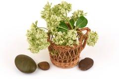 Blackboard Tree, Devil Tree, Alstonia scholaris (Linn.) R. Br., leaves and flowers. Stock Photography