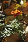 Blackbringer花卉生长在庭院里在秋天 免版税图库摄影