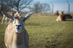 Blackbuck羚羊 免版税图库摄影