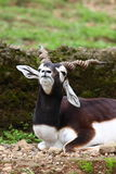 Blackbuck Stock Photo