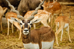 blackbuck arkivbilder