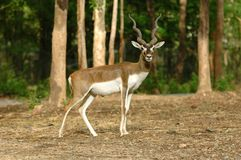 Blackbuck Stock Image