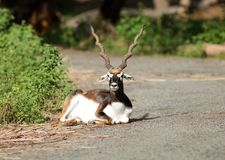 Blackbuck Stockfotografie