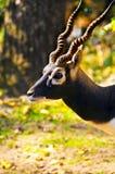 Blackbuck imagenes de archivo