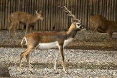 Blackbuck Royalty Free Stock Photos