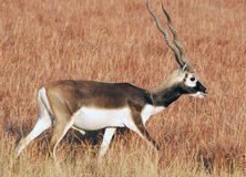 Blackbuck. One of Beautiful deers in India...shot in Velavadar grasslands Royalty Free Stock Photography