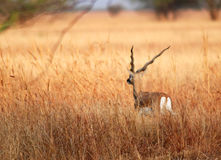 Blackbuck Lizenzfreie Stockfotos