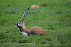 Blackbuck Fotografia de Stock