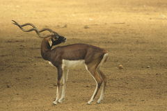 blackbuck Fotografia Royalty Free