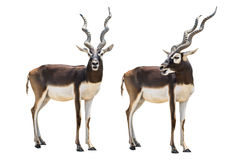 Blackbuck photos libres de droits