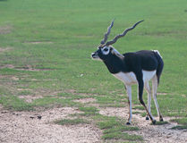 Blackbuck Arkivbild