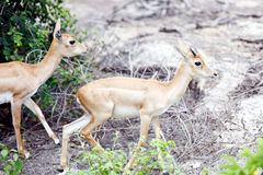 Blackbuck Stock Foto's