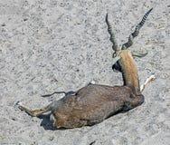 Blackbuck Στοκ Φωτογραφία