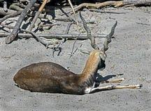 Blackbuck Image libre de droits