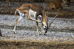 Blackbuck animal in zoo Royalty Free Stock Images