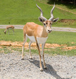Blackbuck Antelope Royalty Free Stock Photos