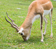 Blackbuck Antelope Royalty Free Stock Photo