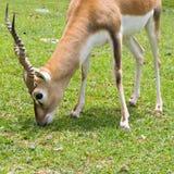 Blackbuck Antelope Royalty Free Stock Photography