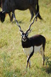 Blackbuck antelope (antilope cervicapra) Stock Photography