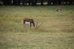 Blackbuck antelope (antilope cervicapra) feeding Royalty Free Stock Image