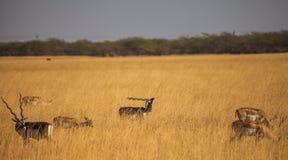 Blackbuck in wild Royalty Free Stock Image
