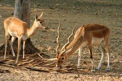 Blackbuck Antelopes Stock Photo