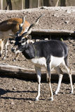Blackbuck (Antilope cervicapra). A male blackbuck (Antilope cervicapra stock photo