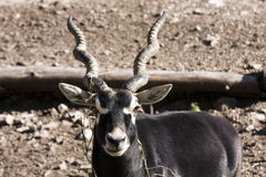 Blackbuck (Antilope cervicapra) Royalty Free Stock Photos