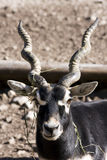 Blackbuck (Antilope cervicapra). Portrait of a male blackbuck (Antilope cervicapra royalty free stock photography