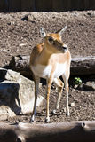 Blackbuck (Antilope cervicapra) female. A female blackbuck (Antilope cervicapra) in a zoo royalty free stock image