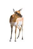 Blackbuck (Antilope cervicapra) female. Isolated with white background stock image