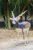Blackbuck (Antilope cervicapra) or Indian antelope in the open z stock photo