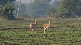 Blackbuck (Antilope cervicapra)/Indien-Antilope Femals auf einem Gebiet Stockbild