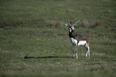 Blackbuck, Antilope cervicapra Stock Photo
