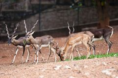 Blackbuck Royalty Free Stock Image
