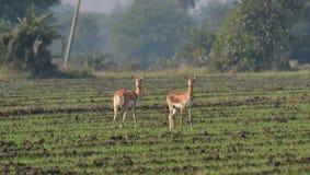 Blackbuck (Antilopecervicapra)/Indien antilop Femals i ett fält fotografering för bildbyråer