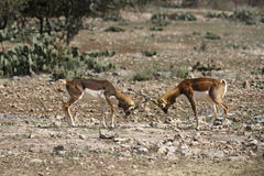 Blackbuck Battle 5 Royalty Free Stock Images