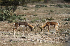 Blackbuck Battle 6 Royalty Free Stock Images