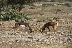Blackbuck Battle 3 Stock Photos