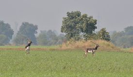 Blackbuck (cervicapra Antilope)/αντιλόπη της Ινδίας σε έναν τομέα Στοκ φωτογραφία με δικαίωμα ελεύθερης χρήσης